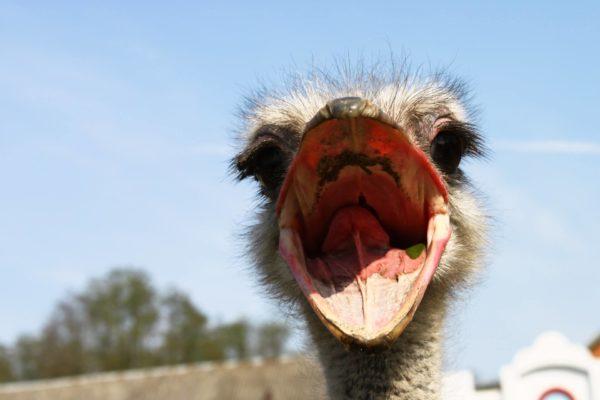 ostrich -unsplash tinified